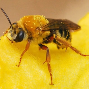 Squash bees, important native pollinators